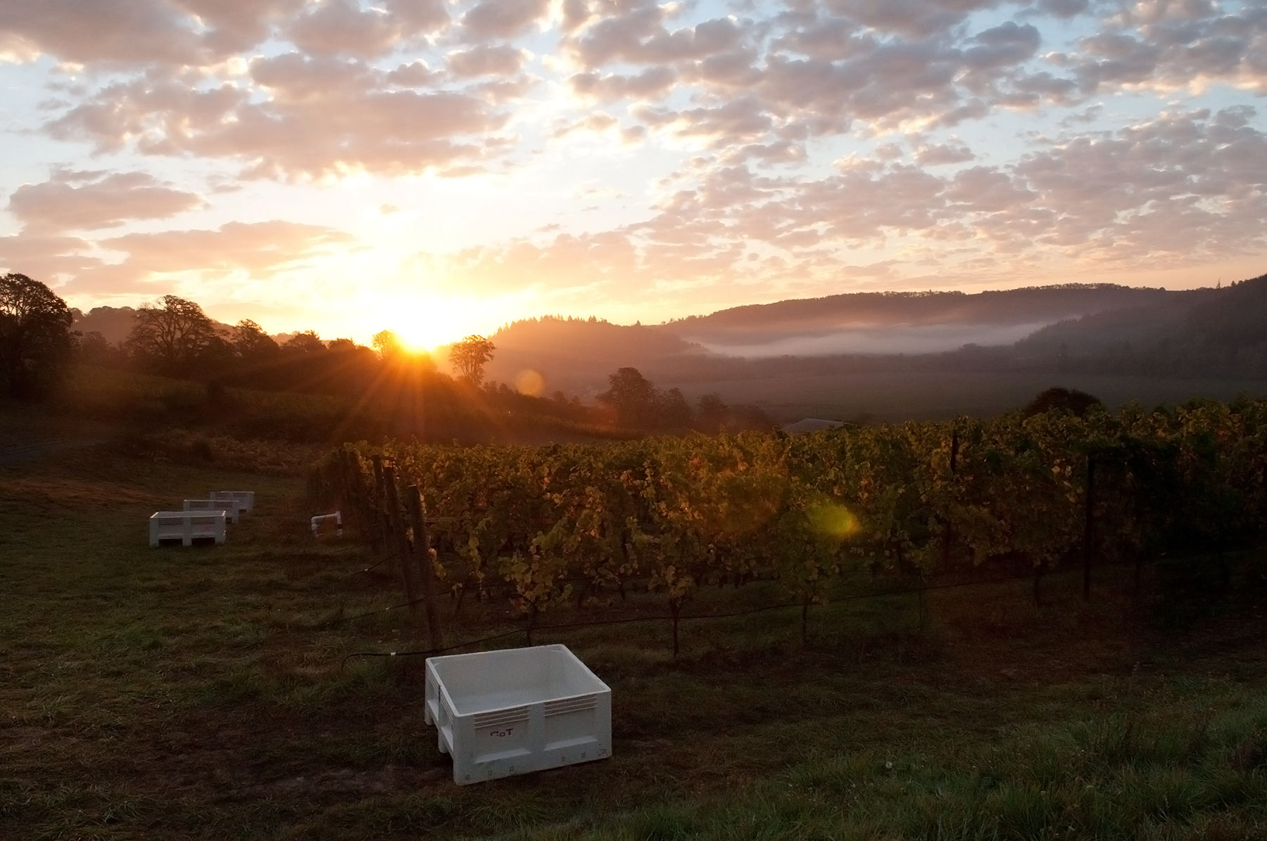 Vineyard Sunrise McMinnville Oregon Coeur de Terre
