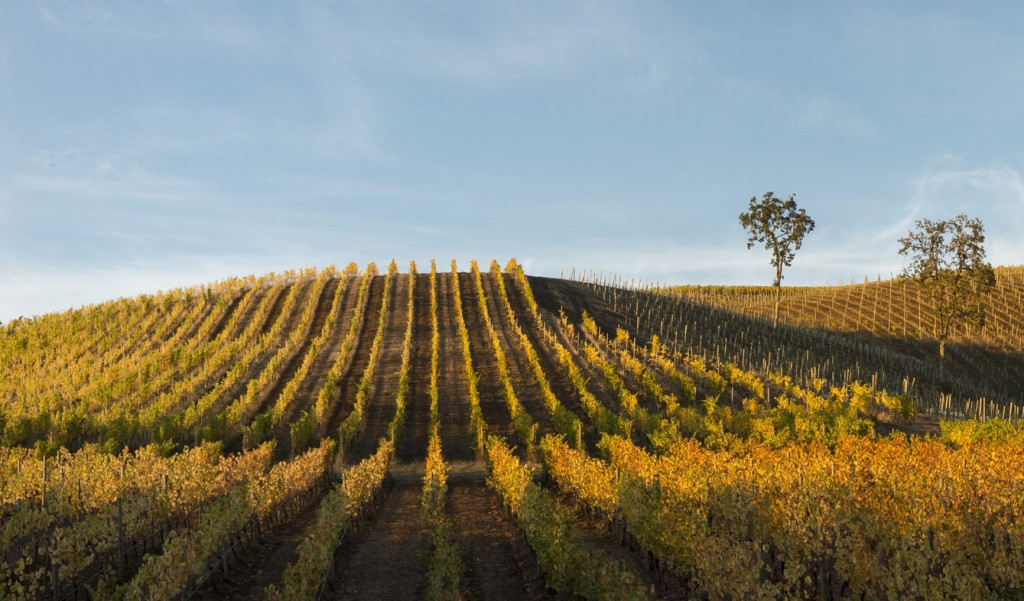 Momtazi Vineyard in fall, McMinnville Oregon