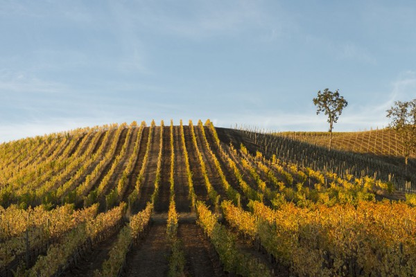 Momtazi Vineyard in fall, McMinnville Oregon