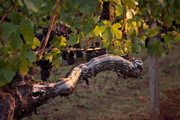 historic pinot noir Hyland Vineyard